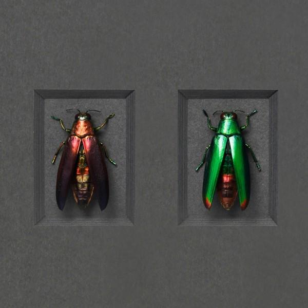 Fulminens Trio Framed Pheromone