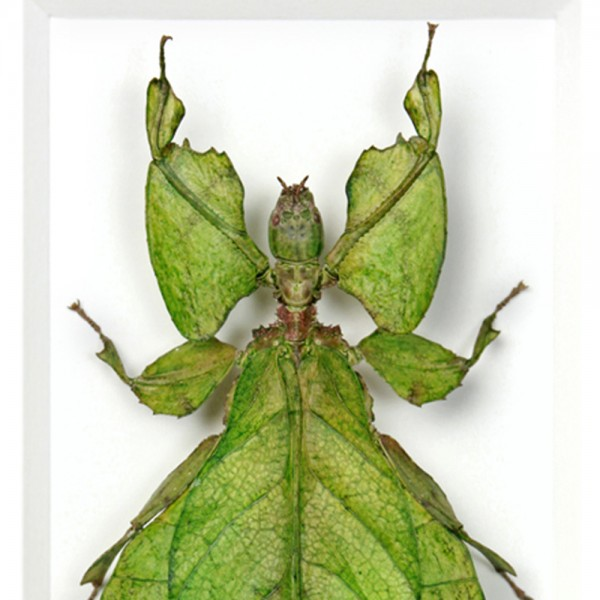 Giant Walking Leaf Insect Framed Pheromone