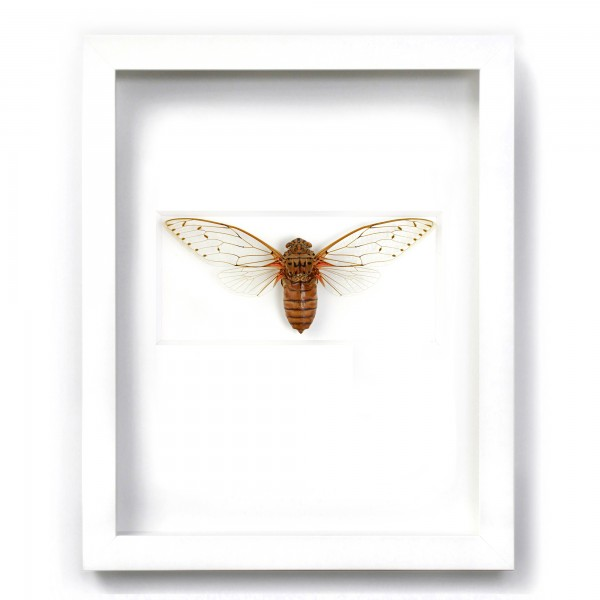 Imperial Cicada Insect Framed Pheromone