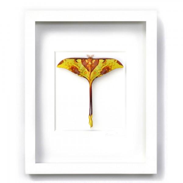 Moon Moth Framed Pheromone