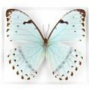 Morpho Catenarius Insect Framed Pheromone 2