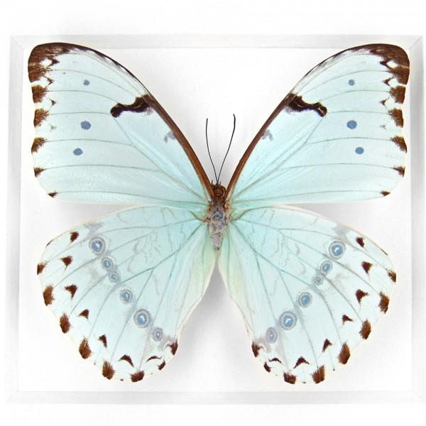 Morpho Catenarius Insect Framed Pheromone