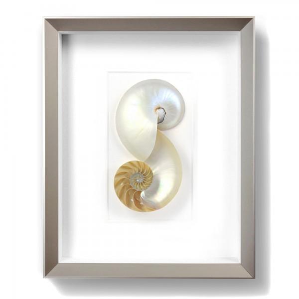 11 x 14 Nautilus