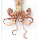 Preserved Squid Framed Pheromone 2