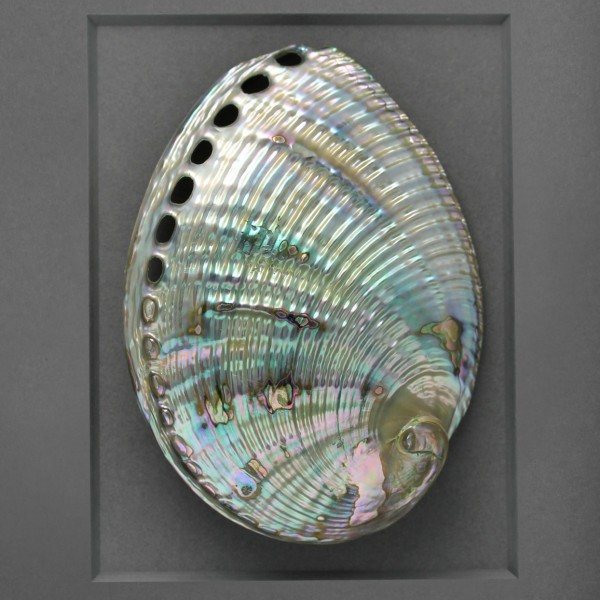 11 x 14 Silver Abalone