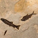 Fossil Gallery Mural 02_Q141117400gm 2