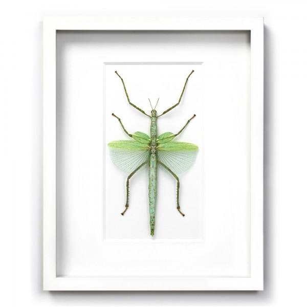 Green Versi Walking Stick Insect Framed Pheromone