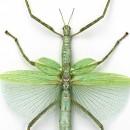 Green Versi Walking Stick Insect Framed Pheromone 2