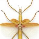 Orange Versi Walking Stick Insect Framed Pheromone 2