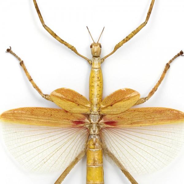Orange Versi Walking Stick Insect Framed Pheromone