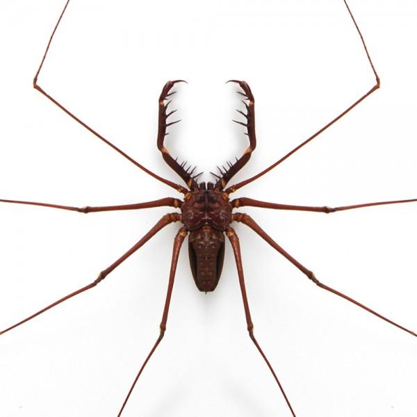 Tailless Whip Scorpion Framed Pheromone
