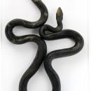 22 x 40 Pine Snake 2