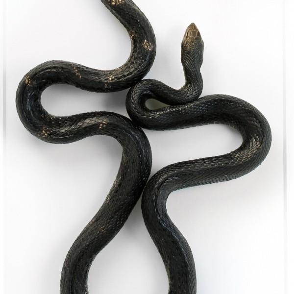 22 x 40 Pine Snake