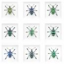 Eupholus Deviation Beetle Group Framed Pheromone 2