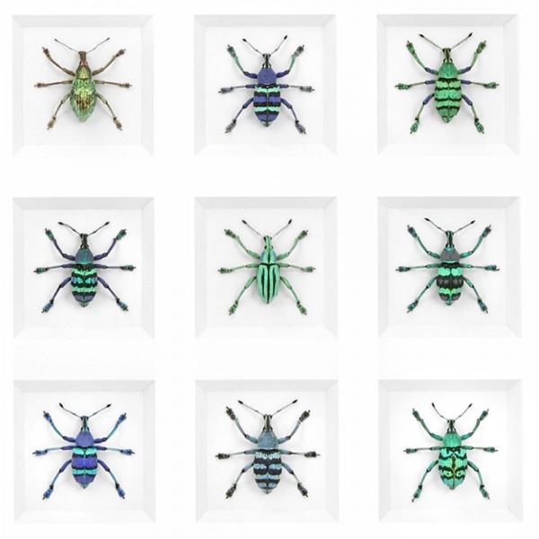Eupholus Deviation Beetle Group Framed Pheromone