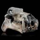 Hippopotamus Lemerlei Fossil Skull