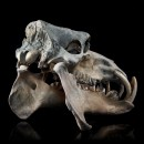 Hippopotamus Lemerlei Fossil Skull 3