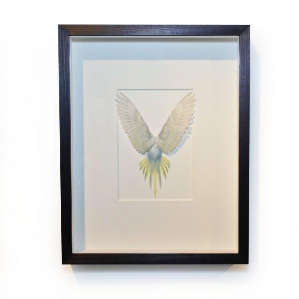 14 x 18 Shell Parakeet Bird - Grey, Light blue and yellow