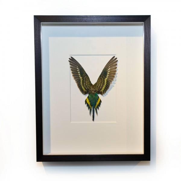 14 x 18 Shell Parakeet Bird - Green, black and yellow