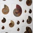 24 x 30 Cretaceous Ammonites 2