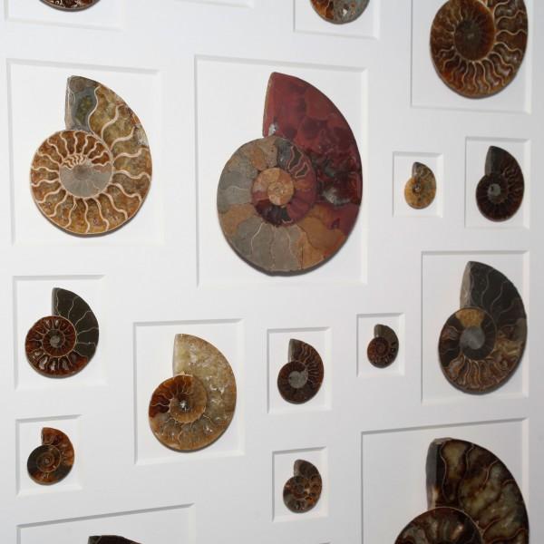24 x 30 Cretaceous Ammonites