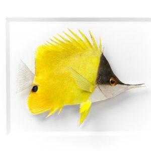 11 x 14 Longnose Fish