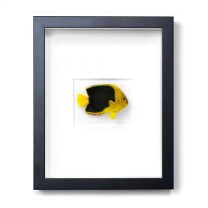 11 x 14 Rock Beauty Angelfish
