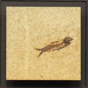 Fossil Shadow Box 171004606