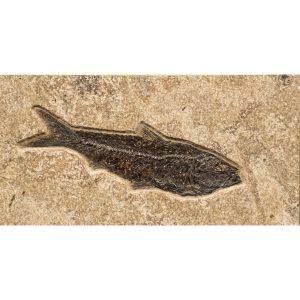 Fossil Tile (Combination) KR48_S227