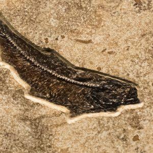 Fossil Tile (Combination) KR88_S236